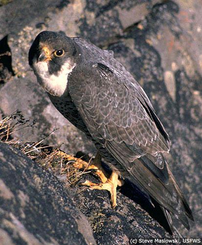 Palon the Peregrine Falcon Peregrine_falcon_lg2