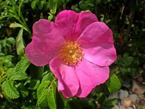 Maine Rose