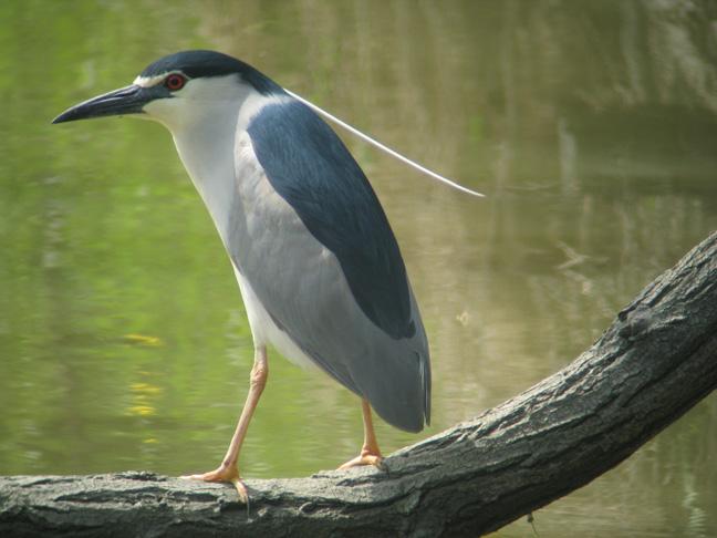 A56 Black-crowned Night Heron