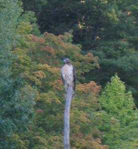 redtail-on-a-tree-perch